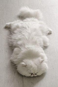 ❖Blanc❖ White fluffy kitten sleeping