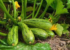 Get expert tips on growing squash in your home vegetable garden. Squash is great for autumn eats and will put your vegetable garden in the fall spirit. Growing Squash, Growing Zucchini, Zucchini Plants, Como Plantar Oregano, Zucchini Benefits, Pumpkin Trellis, Le Pollen, La Germination, Squash Plant
