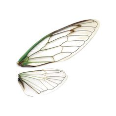 sciencecenter: Dog-day cicada wings, imaged on a... ❤ liked on Polyvore featuring fillers, wings, nature, animals and butterflies