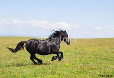 Stallone nero al galoppo al Monte Subasio in Umbria. #Stallone #Stallion #Horses #Cavalli #WildHorses #Mustang #Animals #Mammals #Landscape #Umbria #Italy #Europe #Park #Gallop #galoppo