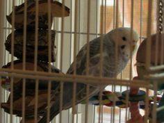 LOST PARAKEET: 05/19/2017 - Wade Hampton, South Carolina, SC, United States. Ref#: L30415 - #ParrotAlert #LostBird #LostParrot #MissingBird #MissingParrot #LostParakeet #MissingParakeet