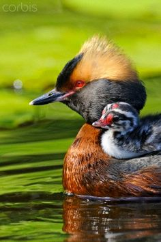 Slavonian grebe with a chick on its back