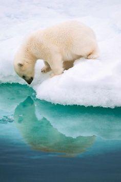 Polar bear seeing his reflection.