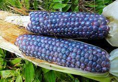 Baby Blue Jade Corn 30 rare seeds non GMO dwarf by SmartSeeds Flint Corn, Glass Gem Corn, Types Of Lettuce, Popcorn Seeds, Alpine Strawberries, Corn Plant, Strawberry Spinach, Bush Beans, Sugar Scrub Diy