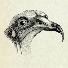 A lithography of bird's head
