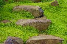 Sagina Scotch Moss, planted among my flagstone path and patio.  I love that you can walk on it and it feels good to the toes!