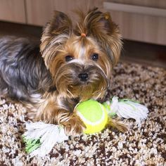 My new favorite toy Asuka the #Yorkie #yorkies #yorkeezz #dog #yorkiegram #instayorkie #uberdog #yorkiesarethebest #dogstagram #собаки #йорки #псы #йоркикручевсех