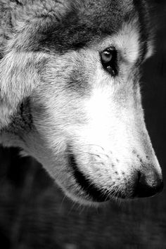 "wolf, says the photographer. He or she looks so much like my sister's beloved Alaskan Malamute ""Kodi"" I can't believe it. The breeder her mandated that she was spayed because the long hair was considered an ""undesirable genetic trait"" for the breed. Wonderful dog; beautiful wolf."