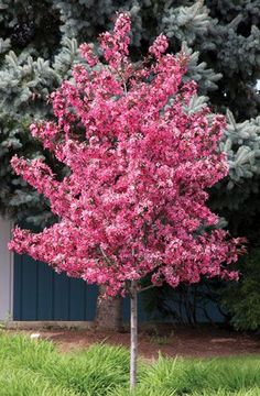 Royal Raindrops® Crabapple: Mature height and spread Spring and Summer shows a dark purple foliage that turns orange-red in fall! Small Trees For Garden, Trees For Front Yard, Small Gardens, Dogwood Trees, Trees And Shrubs, Trees To Plant, Dwarf Evergreen Trees, Dwarf Flowering Trees, Flowering Crabapple Tree