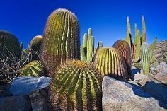 The endemic giant barrel cactus (Ferocactus diguetii) on Isla Santa Catalina in the lower Gulf of California (Sea of Cortez), Baja California, Mexico. MORE INFO This cactus species is the largest barrel cactus species in Baja and found no where else other