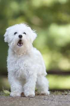 Malteser, Maltese Dogs, Dog Barking, Dog Cat, Gallery, Cats, Animals, Pets, Pictures
