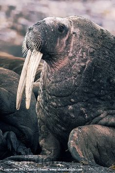 I bet none of you will EVER guess how this pic of a walrus is funny but it is!!