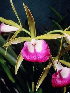 Bc. Nodata 'Maili' HCC/AOS - Odom's Orchids, Inc.