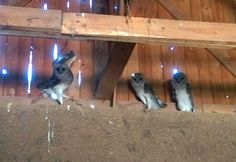 A family of owls in the campesano barn