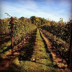 Harvest time at Casanel Vineyards is gorgeous!