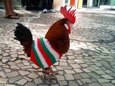 Pet rooster in sweater
