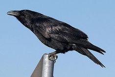 """Zwarte vogel, """"spookhuis"""""""