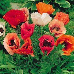 Poppy Pizzicato (starter plant) £2.50