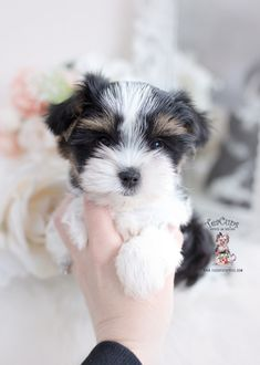 parti-yorkie-217-a Micro Teacup Yorkie, Teacup Yorkie For Sale, Yorkie Puppy For Sale, Toy Yorkie, Biewer Yorkie, Wire Fox Terrier Puppies, Toy Puppies, Miki Dog, Toy Yorkshire Terrier