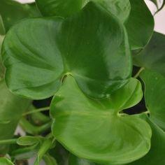 Philodendron - Grazielae