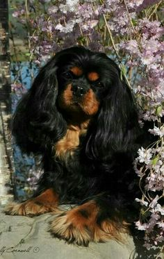 The Cavalier King Charles Spaniel is a direct descendant of the King Charles Spaniel and is named after King Charles II. The earliest appearance of this breed came in when King Charles Spaniels were mixed with Pugs. Cavalier King Charles, King Charles Dog, King Charles Spaniel, Spaniel Breeds, Cocker Spaniel Dog, Dog Breeds, I Love Dogs, Cute Dogs, Puppy House