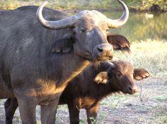 Everybody Needs a Water Buffalo