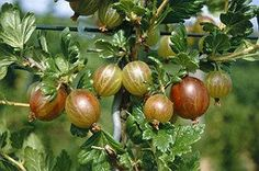 https://flic.kr/p/qpYLtb | agrisul planta medicinala | Gooseberries for internal use is administered in diseases like: Atony digestion, stomachic, inflammation urinary stones, rheumatism, gout.