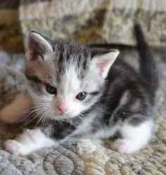 American Wirehair Kitten Pictures