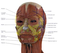 Facial Musculature - Click to Enlarge