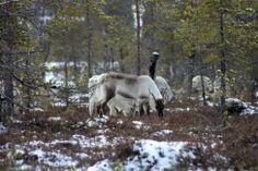 Reininvasjon på Finnlandsmyran