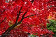 Fall Red by rainier14411 #nature #mothernature #travel #traveling #vacation #visiting #trip #holiday #tourism #tourist #photooftheday #amazing #picoftheday