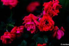 薔薇 赤と黒