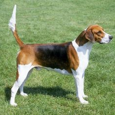 English Foxhound. We used to have a few of these guys, my ex used them for coyote hunting. Great dogs!! =))