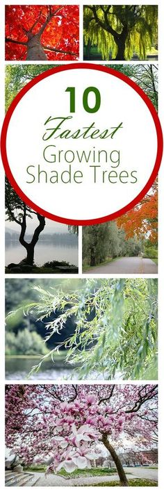 Boost Your Privacy with Fast-Growing Shade Trees | Patio ideas and ...