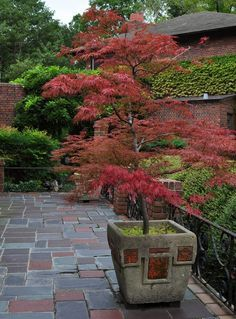 Japanese Maple - I want one. even better that it can be contained and moved in a pot! Japanese Maple - I want one. even better that it can be contained and moved in a pot! Garden Trees, Trees To Plant, Garden Pots, Trees In Pots, Potted Trees Patio, Container Plants, Container Gardening, Container Design, Gardening Hacks