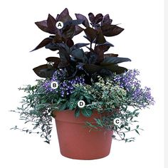 Container gardens can be focal points in the landscape. A single plant can work the same way for the container garden, as this deep purple pseuderanthemum shows here. This planting thrives in sun or shade.                                          A. Pseuderanthemum atropurpureum -- 2  B. Lobelia erinus 'Periwinkle Blue' -- 3  C. Basketgrass (Oplismenus hirtellus 'Variegatus') -- 3  D. Plectranthus 'Uvongo' -- 3  E. Elephant plant (Portulacaria afra 'Variegata') -- 3