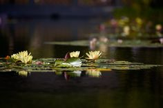 Lily Pond Photograph by Peter Tellone
