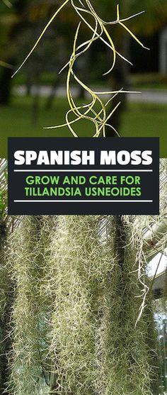 Spanish Moss: Grow and Care for Tillandsia Usneoides - Modern Moss Garden, Garden Trees, Rusty Garden, Cement Garden, Succulents Garden, Oak Tree Pictures, Garden Pictures, Tillandsia Usneoides, Moss Decor
