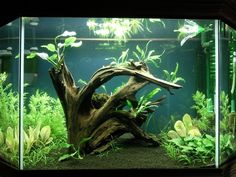 Planted aquarium with medium size driftwood root system. Get driftwood for your aquarium at www.susquehannadriftwood.com