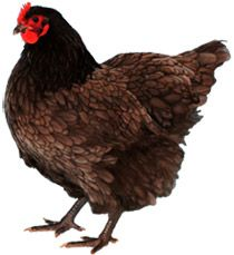 More info. on the Australorp Chicken
