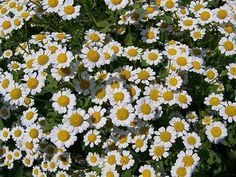 Growing and Using Chamomile - How to