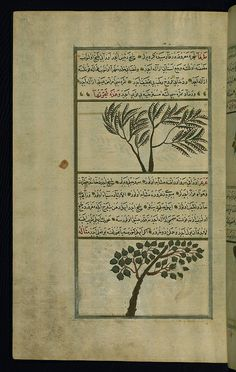 Turkish version of the Wonders of creation, A tamarisk tree and a juniper tree, Walters Manuscript W.659, fol. 212a