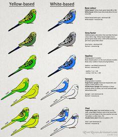 Budgerigar colour genetics by RiverRaven on DeviantArt - Birds Parakeet Colors, Parakeet Care, Budgie Parakeet, Cockatiel, Budgie Toys, Cute Birds, Pretty Birds, Beautiful Birds, Exotic Birds