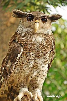 yanti PLEASE DONT GO (Bubo sumatranus /Barred Eagle Owl from sumatra island indonesia)) Beautiful Owl, Animals Beautiful, Cute Animals, Wild Animals, Pretty Birds, Love Birds, Owl Bird, Tier Fotos, Mundo Animal