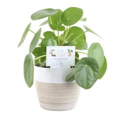 Costa Farms Pilea Peperomioides Sharing Plant in 6 in. Contemporary Planter-6PILEACONTEMP - The Home Depot Small Indoor Plants, Contemporary Planters, Corn Plant, Chinese Money Plant, Money Trees, Miniature Trees, Fiddle Leaf Fig, Leaf Shapes, Home Decor Styles