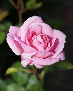 Free photo: Rose, Blossom, Bloom, Rose Bloom - Free Image on Pixabay - 358650