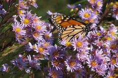 Help migrating monarchs with late-season bloomers like asters. Get more ideas on the Birds & Blooms Blog.