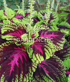 King Kong Coleus - thrive in the heat, perform all summer and the deer leave them alone!