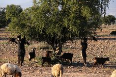 Goats and trees -