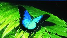 Blue morpho  Cairns attractions - Things to do in Tropical North Queensland - Australian Butterfly Sanctuary